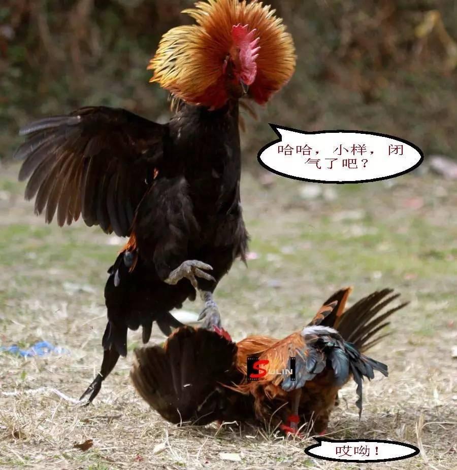 斗鸡,斗传统:苗族公鸡的优良人民摩托车踩挡图片