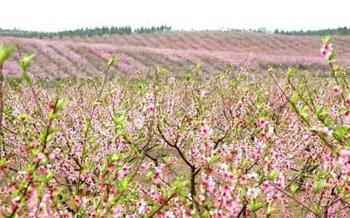 春天来了,芜湖赏花最全攻略!这个占地400000㎡的花海