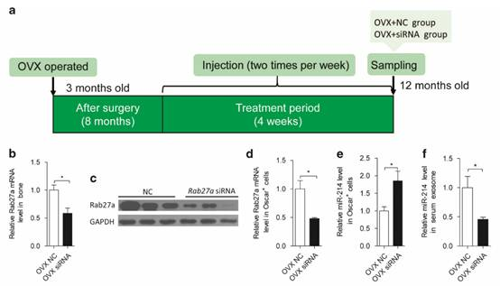 Fig7a:3月龄OVX手术后8月开始注射Rab27a的脂质体siRNA,每周2次维持4周,取样检测。之后的检验方式也和前面一样,比较新的就是这里做了显微Ct吗,显示了骨体积分数、骨小梁数量、骨密度上升而结构模型指数降低,说明其对骨质疏松是有缓解作用的。