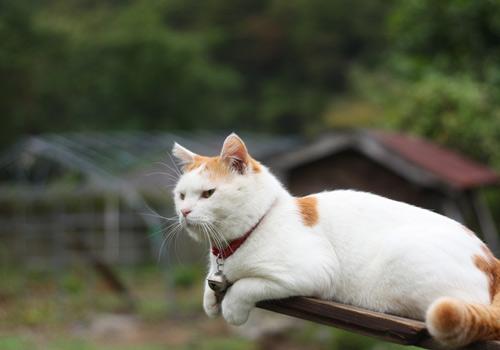 猫膀胱结石要手术吗图片