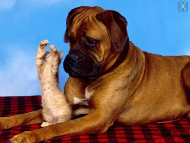 梦见巨大的狗恨凶恶