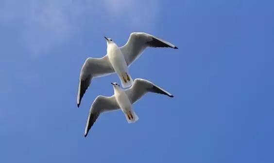 传说中的比翼双飞,今天终于见到了!