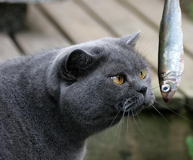 俄罗斯蓝猫和英短的区别图片