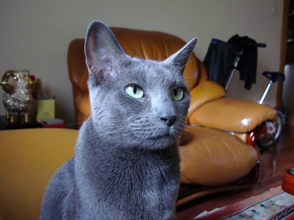 俄罗斯蓝猫汤姆图片