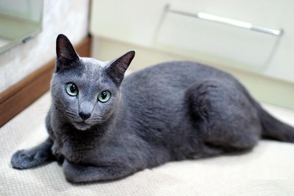 俄罗斯蓝猫图片及价格图片