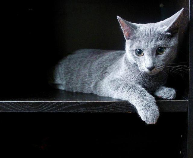 俄罗斯蓝猫掉毛吗图片