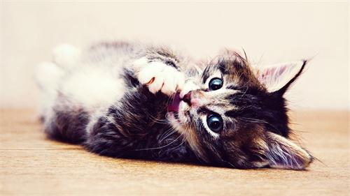 针对猫咪掉毛的妙招有哪些 怎样解决猫咪掉毛