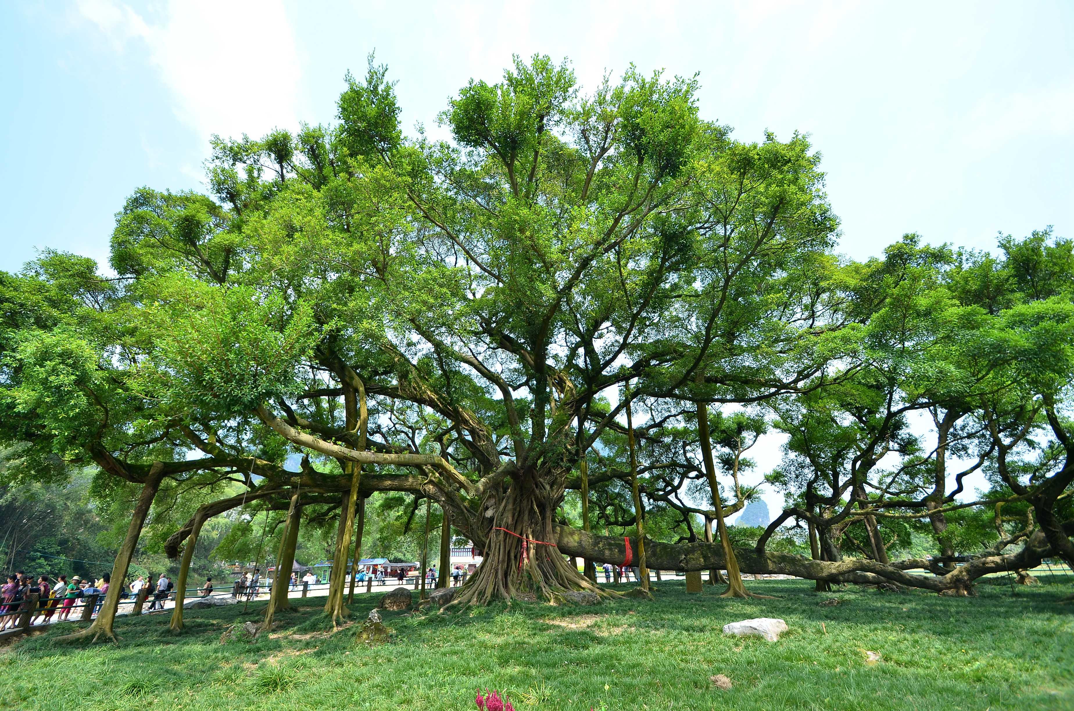 古榕树_福州西禅寺古榕树年代_古榕树下与榕树下哪个好些