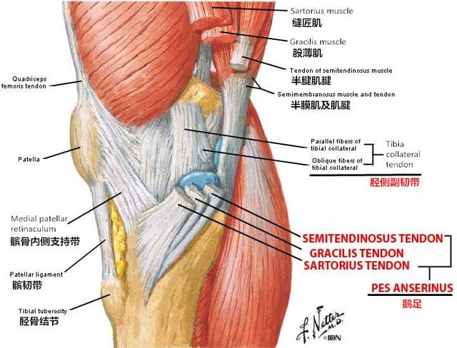哥阅片课堂 膝关节鹅足的实战解剖