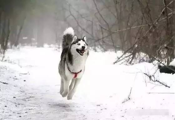 新锦福5888下载被主人拽到雪地里,下一秒让人一阵摇头