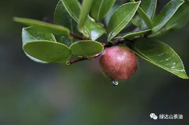 ■ 山茶树之果实-从千年古茶籽到珍品食用油 一瓶好茶油的诞生记