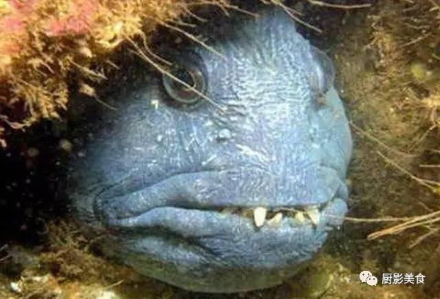这是2010年夏季最新发现的食木鲶鱼物种,是由秘鲁生物学家罗伯托-奎斯