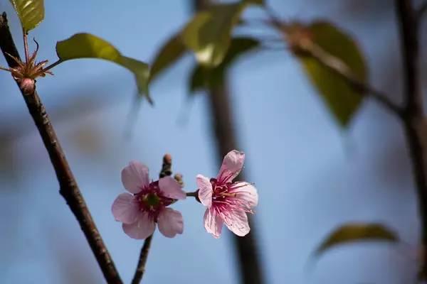 纯洁、高尚、热烈是樱花的花语
