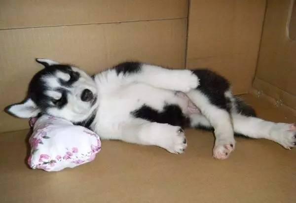 世界上有一种差别叫做, 你家养了只柴犬,而我家养的是哈士奇