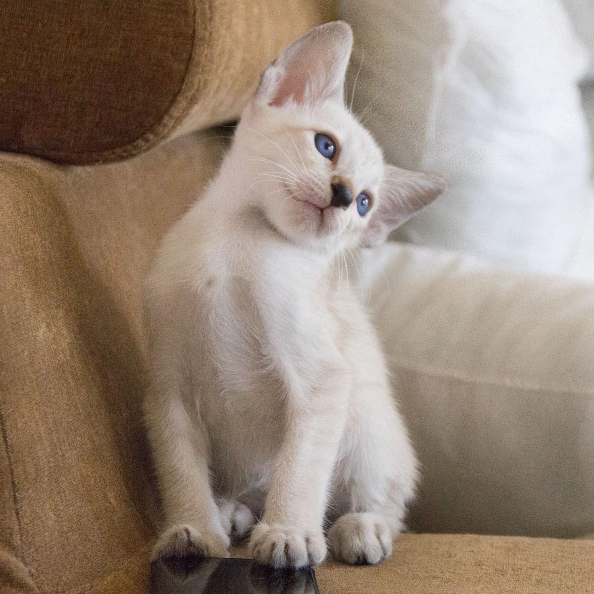 布偶猫和暹罗猫图片