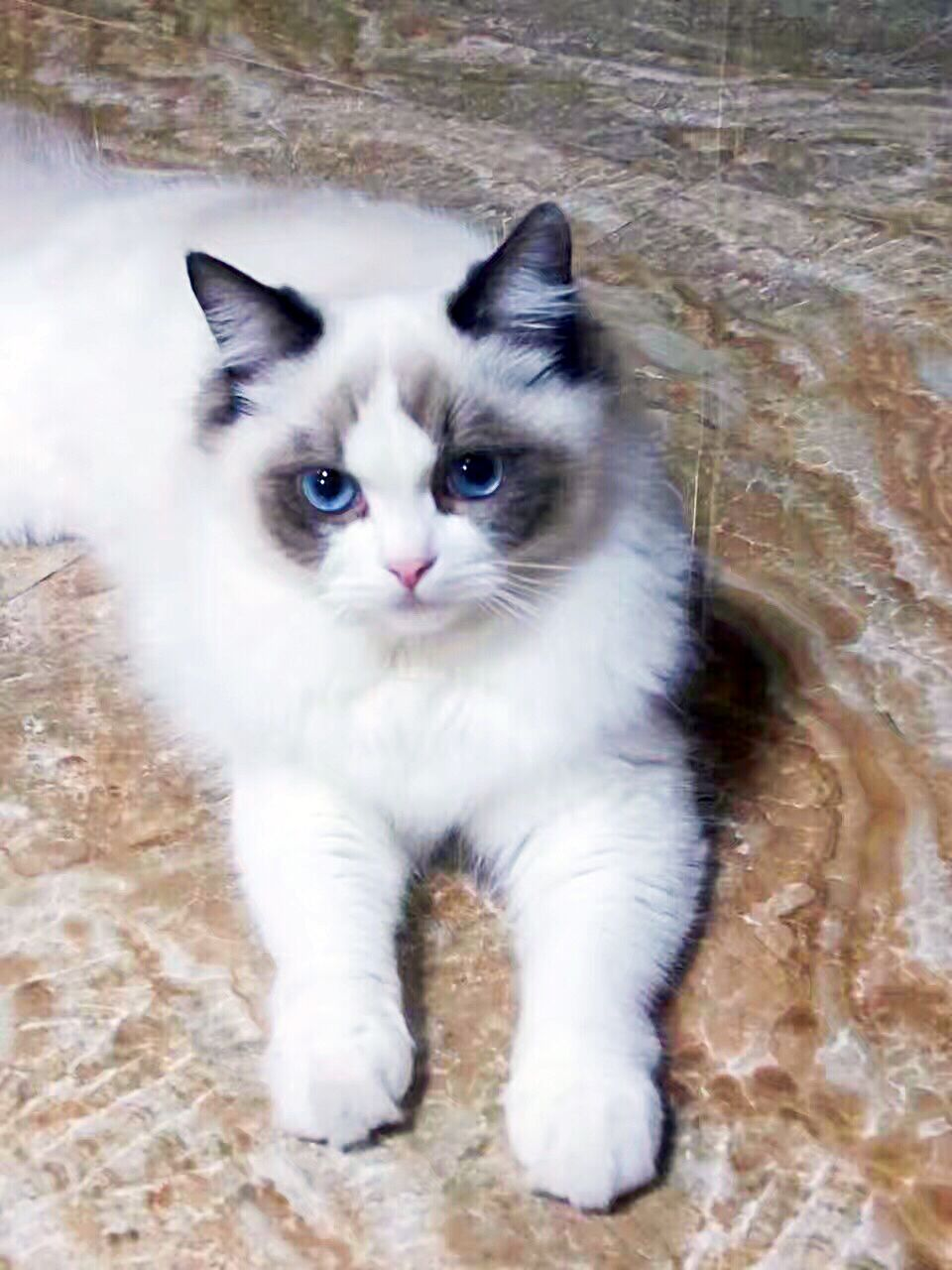 布偶猫和暹罗猫哪个好图片