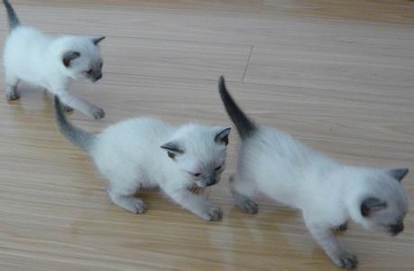 布偶猫和暹罗猫的对比图片