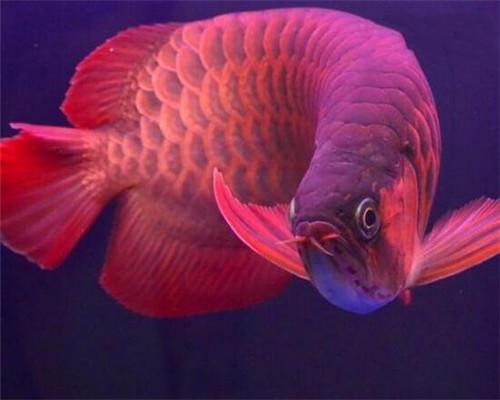 世界上最贵的8种鱼 最贵的鱼可以在北京买套别墅