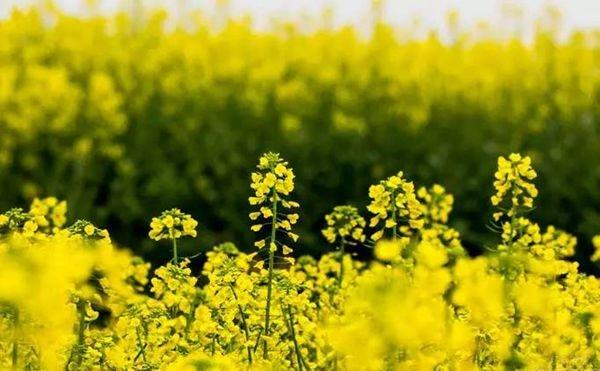 成都市民要看花就收藏这份四川最全赏花指南吧