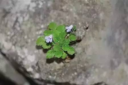 天竺葵叶报春新种在