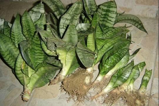 虎皮兰不用出去买,折一片叶子就能繁殖图片
