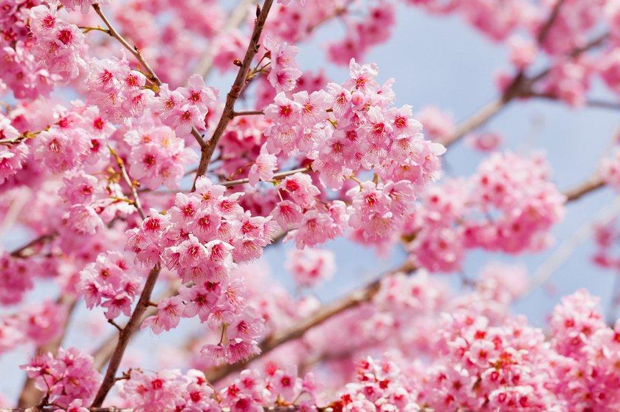 樱花结的编法图解