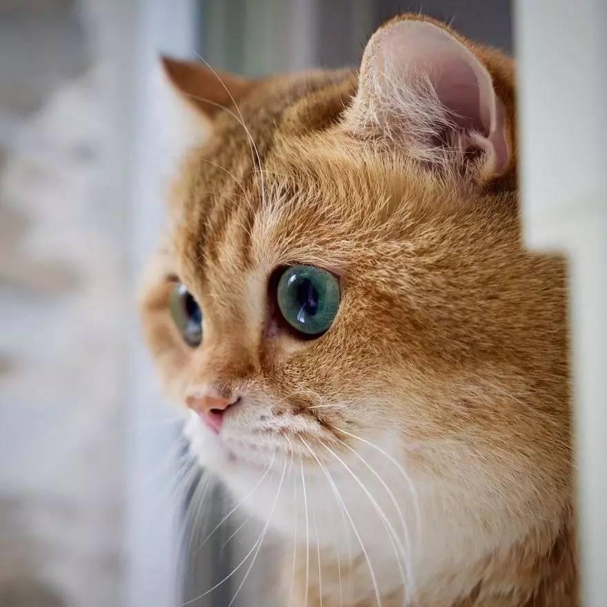 宠物 正文  一只名叫hosico的橘猫咪,肥肥圆圆的身材,萌胖萌胖的大脸