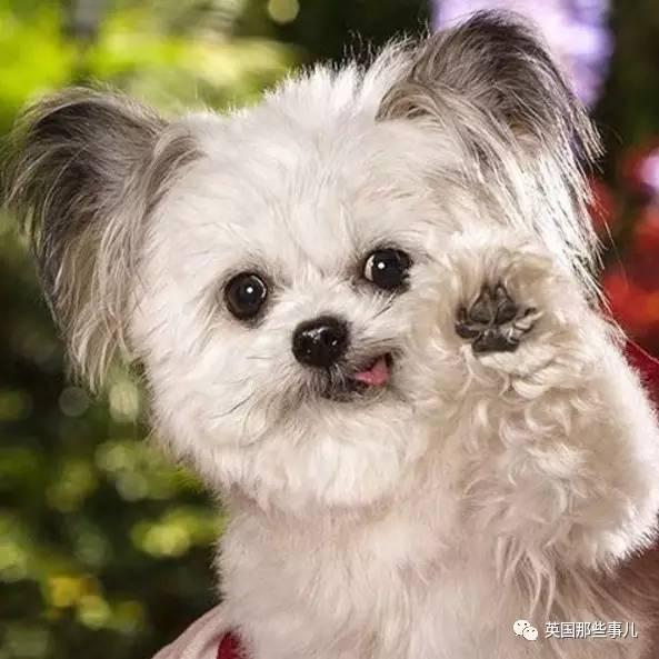 全球最小的治愈犬,这就是传说中吃可爱长大的吧 - 浪浪云 - 仰望星空