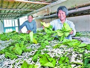 桑蚕养殖速长技术图片