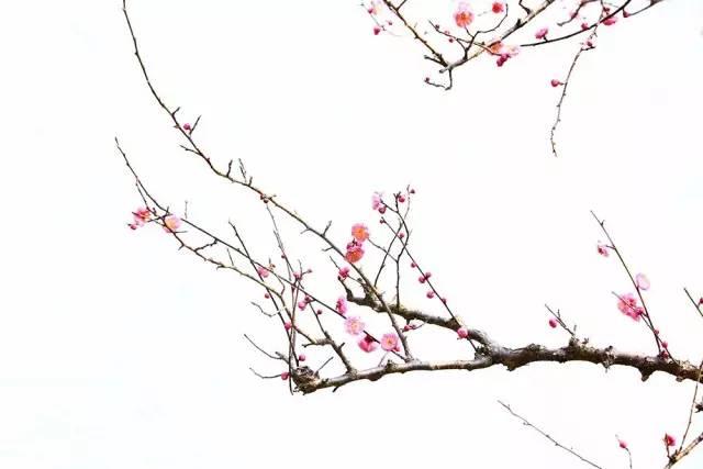 【 意境梅花 】图片