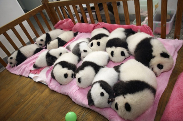 熊猫的图片可爱萌萌的