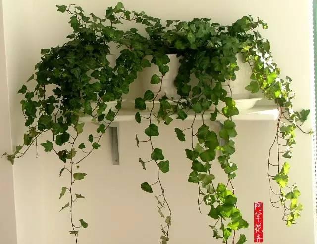 常见室内绿植养护知识图片