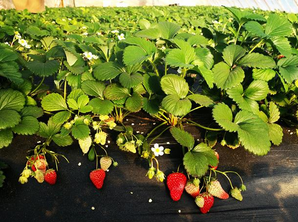草莓,春天里的一抹红颜—我的伊金霍洛草莓采摘记