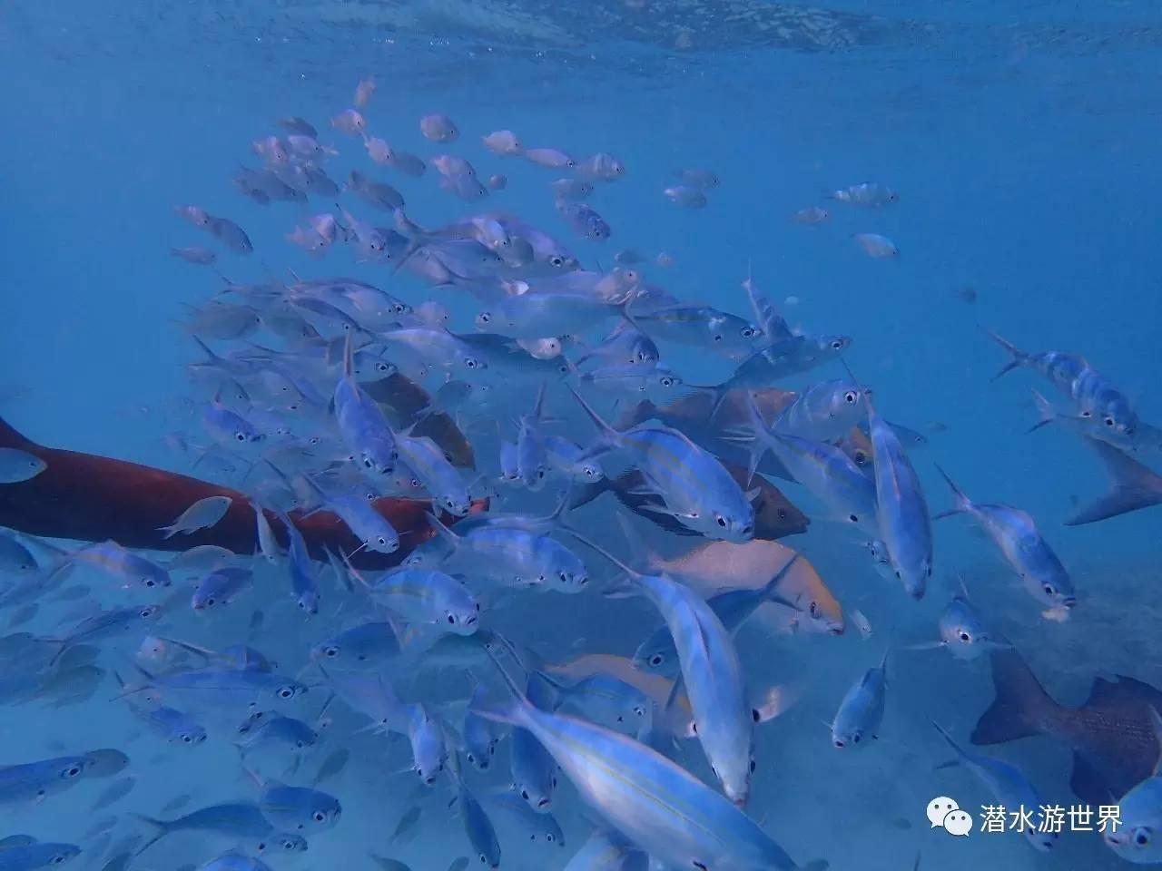 鲨鱼或是海鳗等大型鱼类,快到喂鱼时间总会看到这些大鱼游到靠近水面