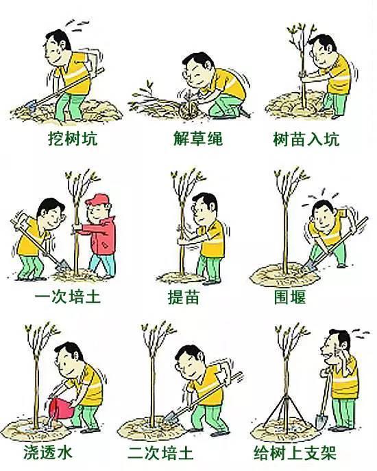 种植过程中应一人或多人扶正苗木,其余人填土,填好的土要与原苗木根颈图片
