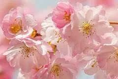 2017林芝桃花节已定!即将迎来中国最美春天,错过就要