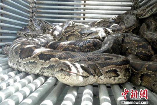 海南破收购珍贵濒危野生动物案 查获8条活体蟒蛇 - 梅思特 - 你拥有很多,而我,只有你。。。