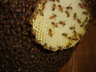 """奇男子光着膀子摘蜂巢,一只蜜蜂也不敢蛰他"""""""
