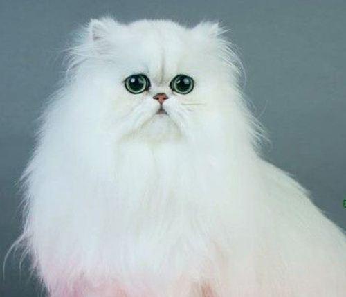 宠物猫金吉拉多少钱图片