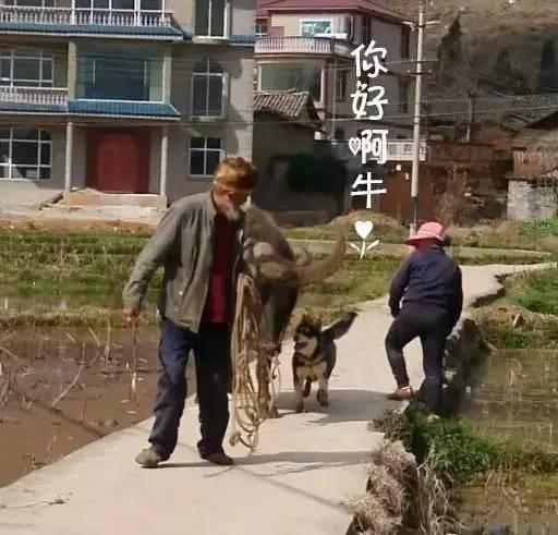 在农村养了条哈士奇,几天后村长说:这比鬼子进村还可怕!