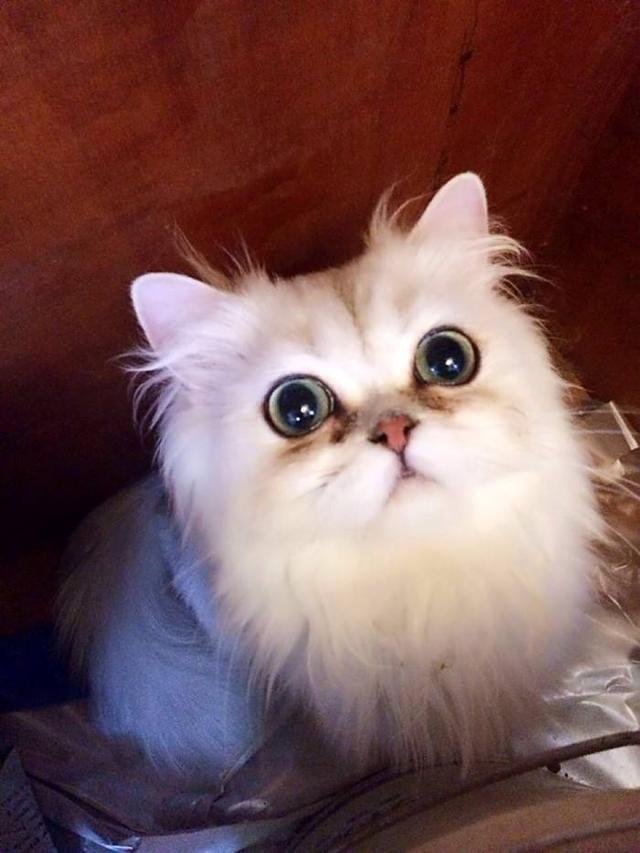 宠物猫金吉拉图片图片