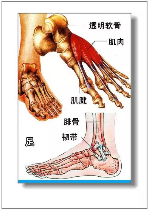 人体各脏器分布�_1.人体内脏分布概观简图 2.腹部脏器分布图(前面观) 3.腹网膜 4.