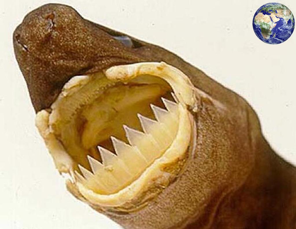 世上唯一一种会发光的鲨鱼,体型很小却能杀死鲸鱼