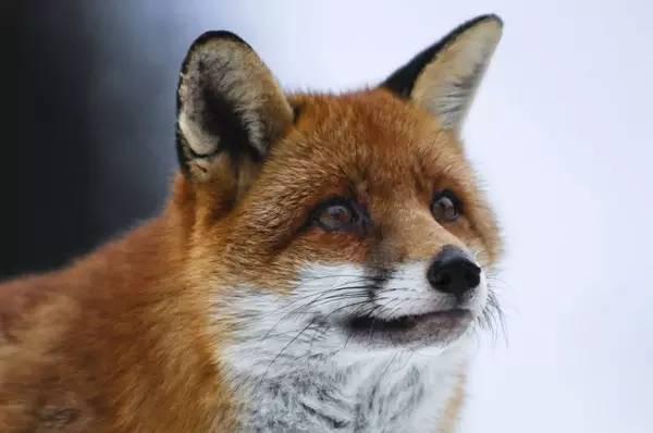 狐狸与我的剧照