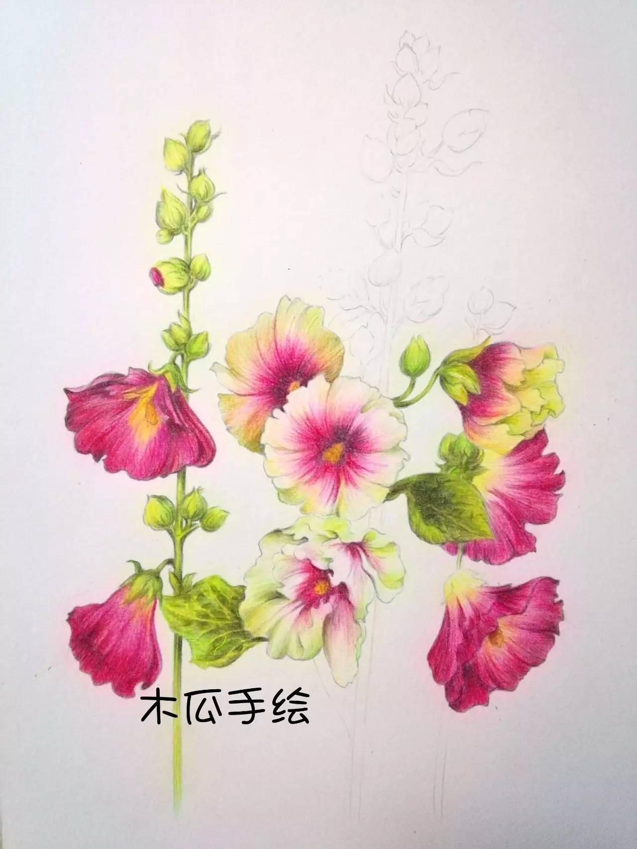 彩铅手绘~蜀葵