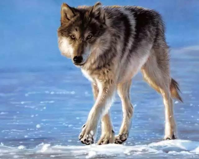 最帅的狼_活动 百狼夜行盛装杀上妖都 万圣狂欢夜等你来装神弄鬼