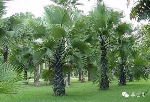 【非遗说】一把棕榈叶编出千年民间文化