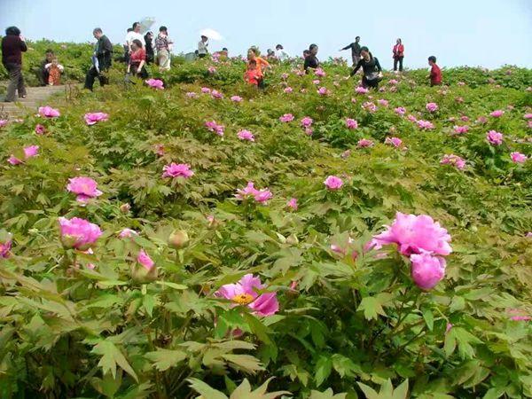 重庆垫江:养生养颜养健康 太平牡丹绽芬芳