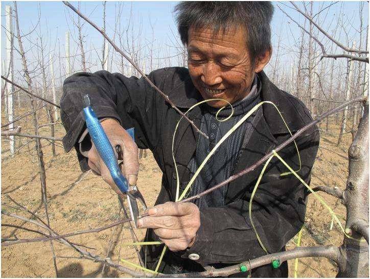 老师指导 掌握苹果刻芽的时间和方法,谨记6要点