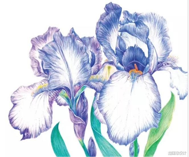 铅教程 用彩色铅笔画一朵优雅浪漫的鸢尾花
